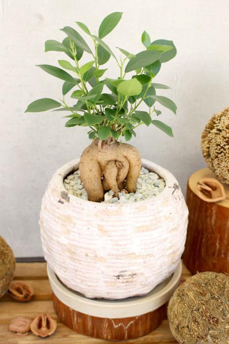 幸せを呼ぶ木と言われるガジュマルの木