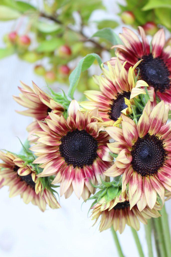花びらの中心が褐色、外側がクリーム色のヒマワリ ルビ-イクリプス